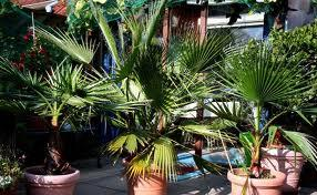 Washingtonia Palmen Samen 12Stk